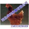 羅曼褐,羅曼褐雞苗,羅曼褐價格,華興種禽