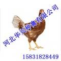 柴鸡厂家,柴鸡批发,柴鸡供应,华兴种禽