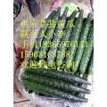 大量供应津绿密刺油亮黄瓜