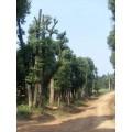 荆州香樟树