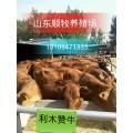 小黄牛一头多少钱 本地黄牛的价格 顺牧鲁西黄牛养殖场