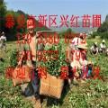 红颜草莓苗价格 供应红颜草莓苗 四川红颜草莓苗