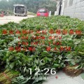 供應優質草莓苗 紅顏草莓苗哪里賣 泰安開發區鴻強園藝場