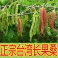 台湾四季超级长果桑