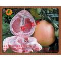 三红红皮红肉蜜柚苗供应商柑桔脱毒苗