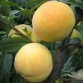 錦繡黃桃苗供應商