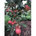 苹果树苗 优质苹果树苗厂家 2016苹果树苗价格资料