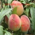 桃树苗价格 优质嫁接桃树苗品种 中华寿桃桃树苗基地