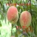 中华寿桃 优质中华寿桃价格 中华寿桃树苗厂家信息