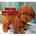 广州哪里有卖贵宾犬 广州哪里有茶杯泰迪