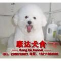 广州哪里有卖比熊犬 广州比熊犬能长多大