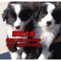 广州哪里有卖边牧幼犬 购买边牧犬需要多少钱