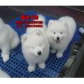 广州哪里有卖萨摩耶犬 萨摩耶犬什么价格