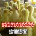 出售四季鹅鹅苗