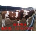 山东小黄牛多少钱价格