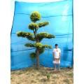 金叶榆造型树苗木  适合在别墅/庭院/公园/室内种植的观赏树