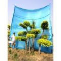 庭院景观树/树木造型/树的造型设计/景观造型树/金叶榆造型树