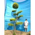 庭院景观树/大型风景树/景观造型树/树木造型/金叶榆造型树