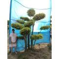 园林绿化树种/景观造型树/树木造型/树的造型设计/造型金叶榆