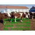 今日北方西门塔尔小公牛价格 现在北方西门塔尔小母牛价格