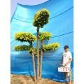 衡水德润景观 造型金叶榆/景观造型树/园林绿化树/别墅景观树