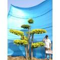 衡水德润景观 园林绿化树/树造型设计/景观树设计/造型金叶榆