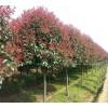 高杆红叶石楠价格|红叶石楠小苗|10公分红叶石楠价格