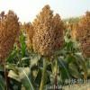 常年求购玉米高梁小麦碎米大米糯米木薯淀粉