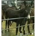 东北驴一年能长多重