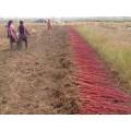 高度60公分红瑞木价格沭阳长度70公分红瑞木价格