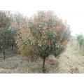 4公分红叶石楠树价格/江苏价格
