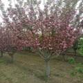 山东泰安3公分-4公分-5公分-6公分-7公分-8公分樱花