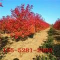 红点红枫基地=7公分-8公分-10公分美国红枫树