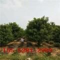 供应红点红枫_2米-3米丛生红点红枫价格