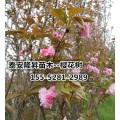 6公分樱花价格 7公分-8公分高杆樱花产地