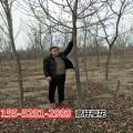 批发9公分-10公分-12公分高杆樱花树价格