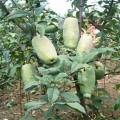 皱皮木瓜苗,光皮木瓜苗,木瓜种子,木瓜干,嫁接木瓜苗