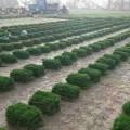 园林绿化草坪价格
