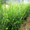 提供1米高度红豆杉小苗价格