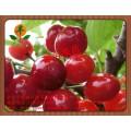 紫紅櫻桃苗供應商