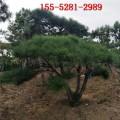 基地供应3.5米油松、4米油松、5米造型油松价格