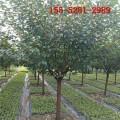 基地樱花出售、4公分樱花+5公分樱花+6公分樱花价格