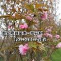 基地樱花批发-8公分、10公分、12公分樱花的价格