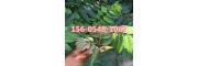 种植香椿树技术推广- 红油香椿树多少钱一棵