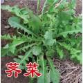 优质野菜种子济南批发 大叶荠菜种子菱角菜种子