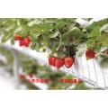 立体草莓种植技术 四季草莓立体种植槽  哪里卖