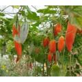 奇异瓜果种子|老鼠瓜|变色瓜种子|观赏蔬菜种子批发
