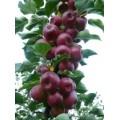 吉林龙丰果树苗种苗基地/辽宁龙丰苹果苗批发价格