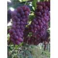 金红娃葡萄苗新品种|小红粒葡萄苗批发价格