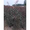 红叶李苗产地|密枝红叶李苗价格|新疆红叶李